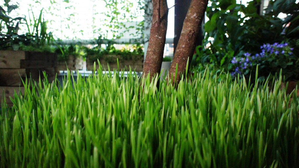Wheat grass and plum trees in the edible foyer workplace gardens.