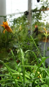 Day Lily in edible workplace garden in foyer, Cardiff