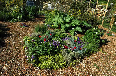 Edible perennial plants, used as productive food plants in an edible landscape, permaculture garden or productive landscape design.